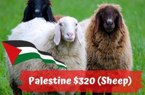 Qurban Palestine $320 Sheep